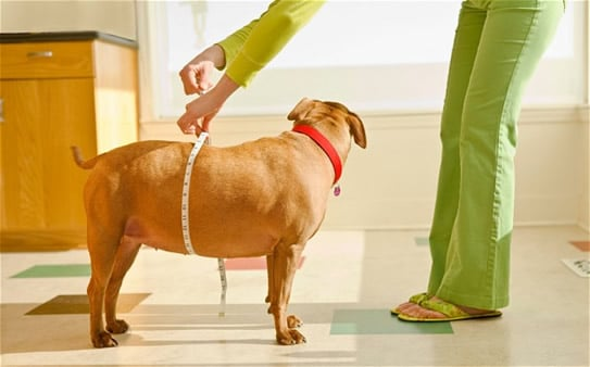 Pet Obesity Shows No Sign Of Shrinkage